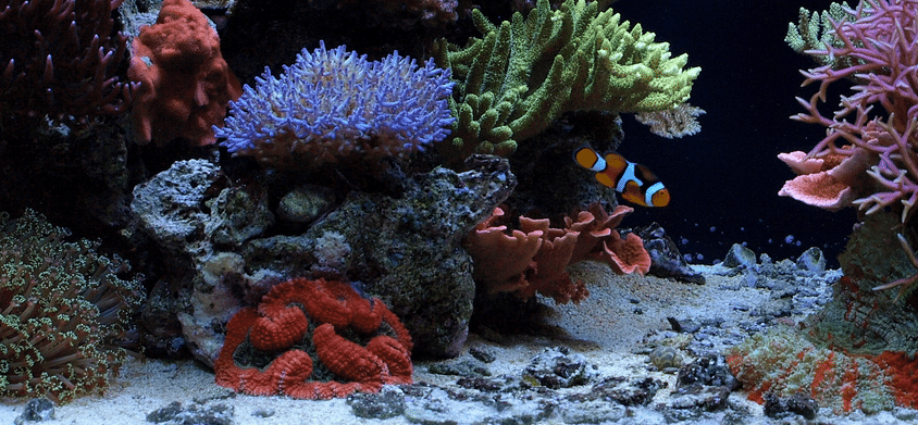 cultivating corals Due to the continuous regeneration of new polyps, some deep-sea coral reefs have been actively growing for as long as 40,000 years deep-sea corals come in a virtual paint box of colors yellow, orange, red, purple, and more.